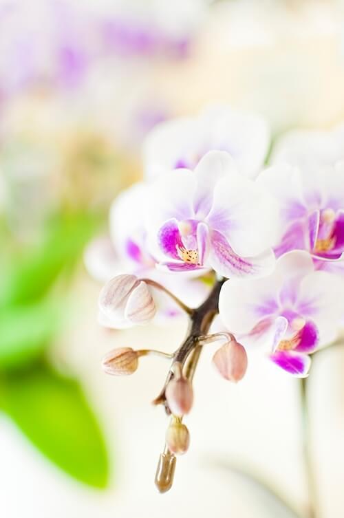 【日刊:男の家事】木の葉の胡蝶蘭は二度咲く