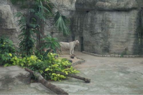 サイゴン動物公園ホワイトタイガー