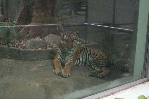 サイゴン動物公園顔がデカいトラ