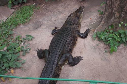 サイゴン動物公園 ワニ