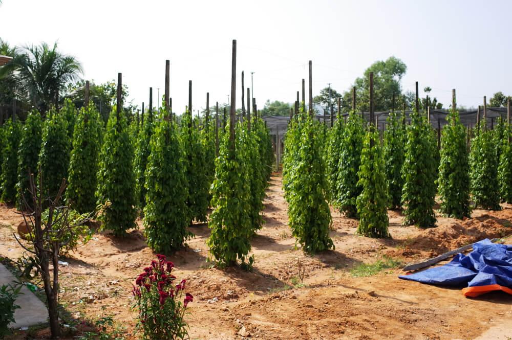 フーコック 胡椒農場