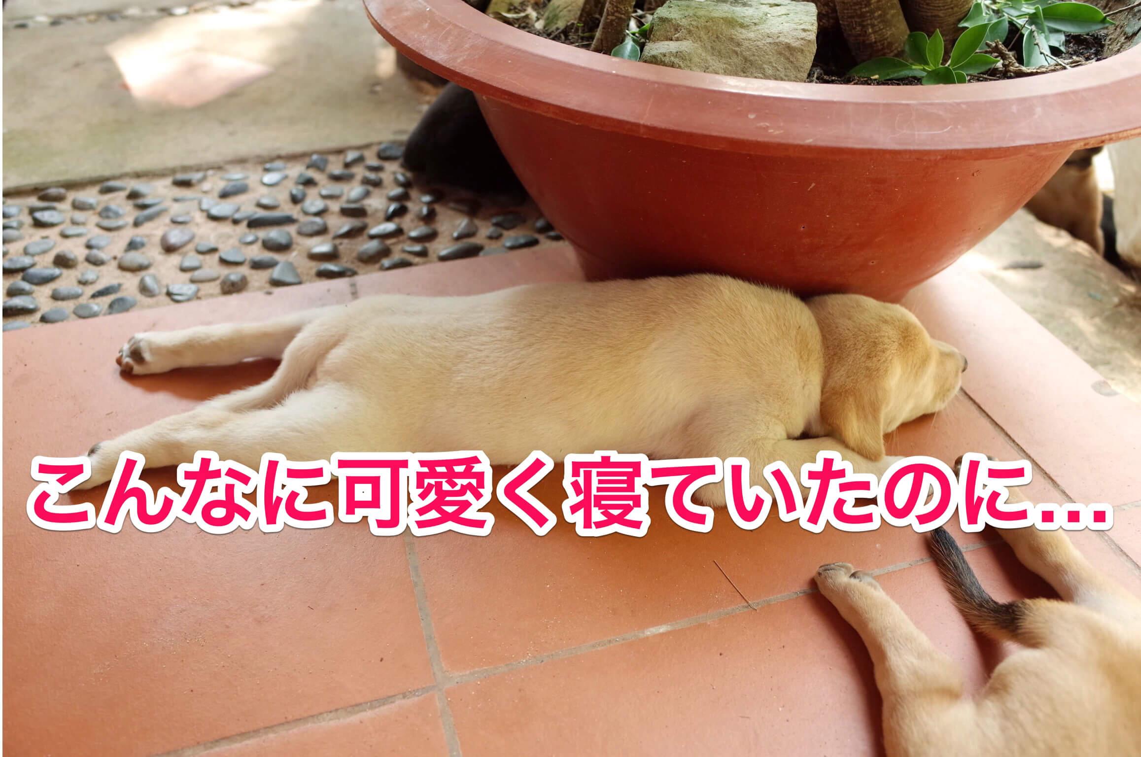 四ヶ月ぶりのフーコック!子犬が大成長。時が流れるのは速いと実感!