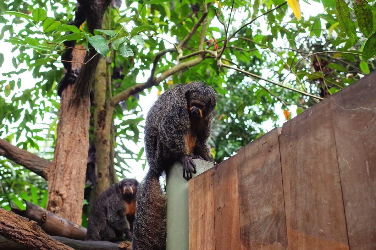 シンガポール動物園 サル