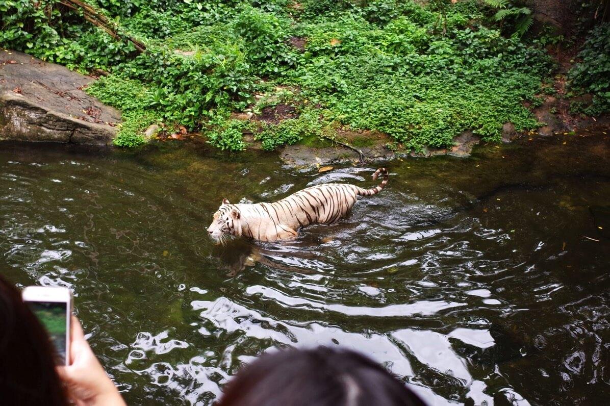 シンガポール動物園 ホワイトタイガー エサやり