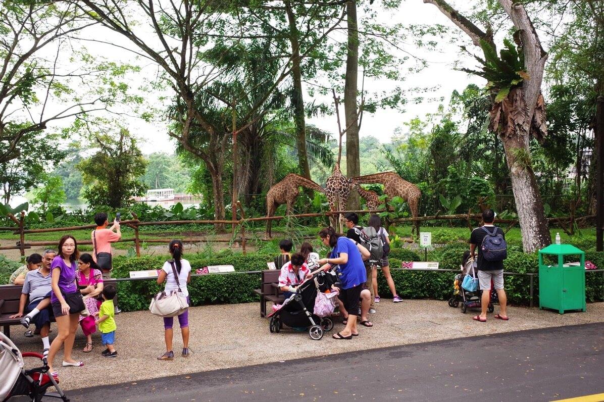 シンガポール動物園 オープンズー キリン