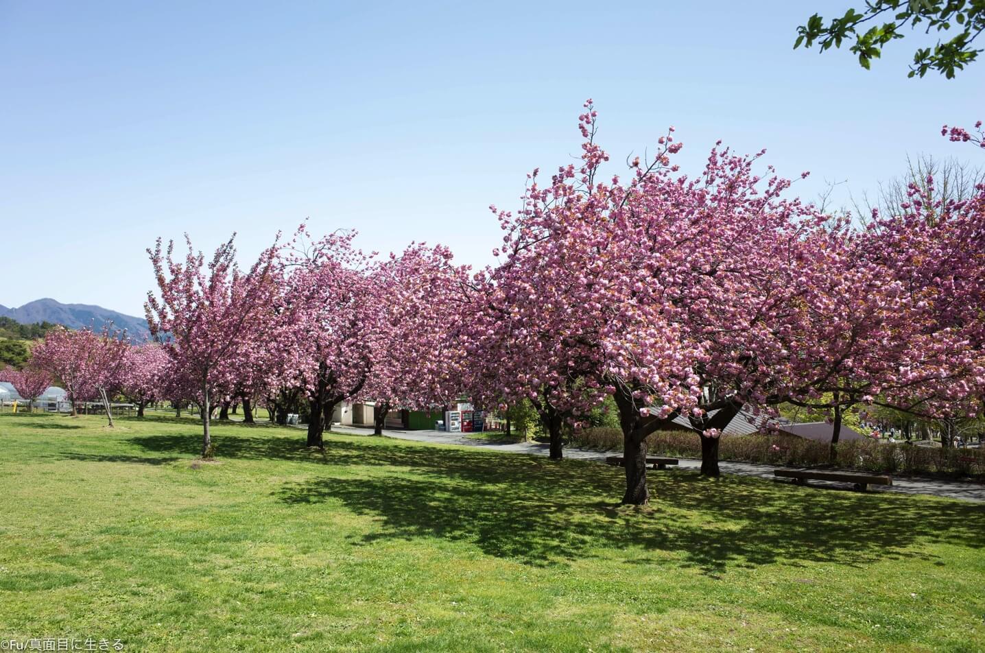 めっちゃ桜ある