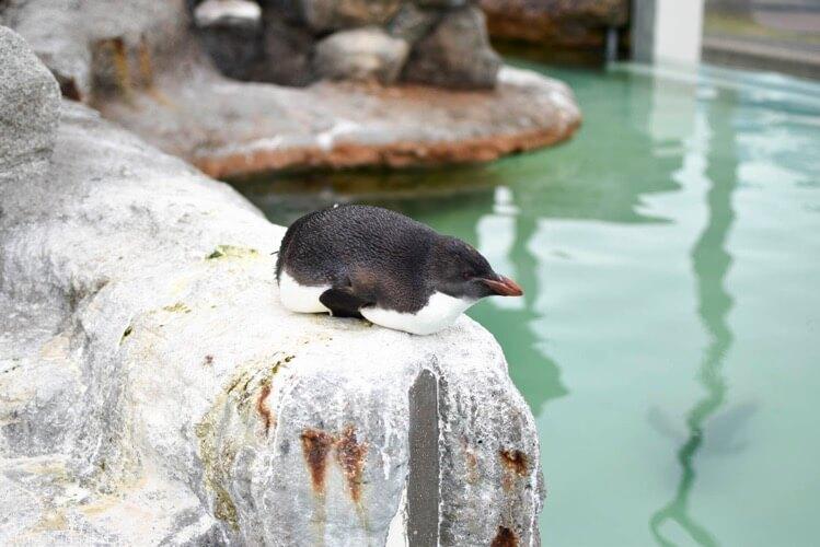 寝るペンギン