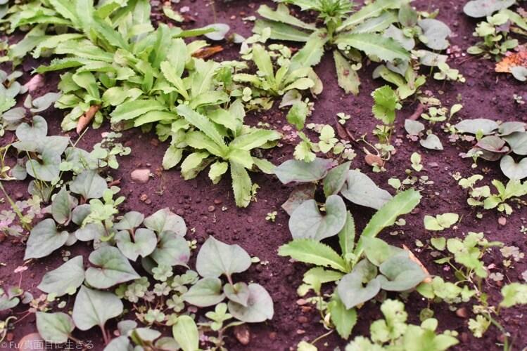 庭に生えている香草