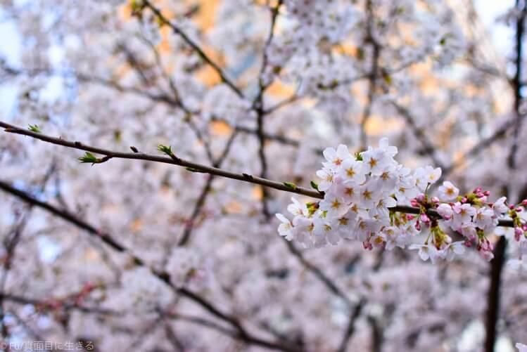 桜の咲き具合
