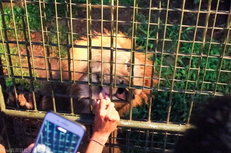 スタッフさんから餌を食べるライオン