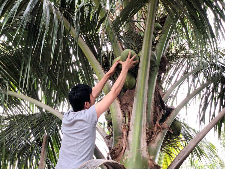 ココナッツを引っ張る