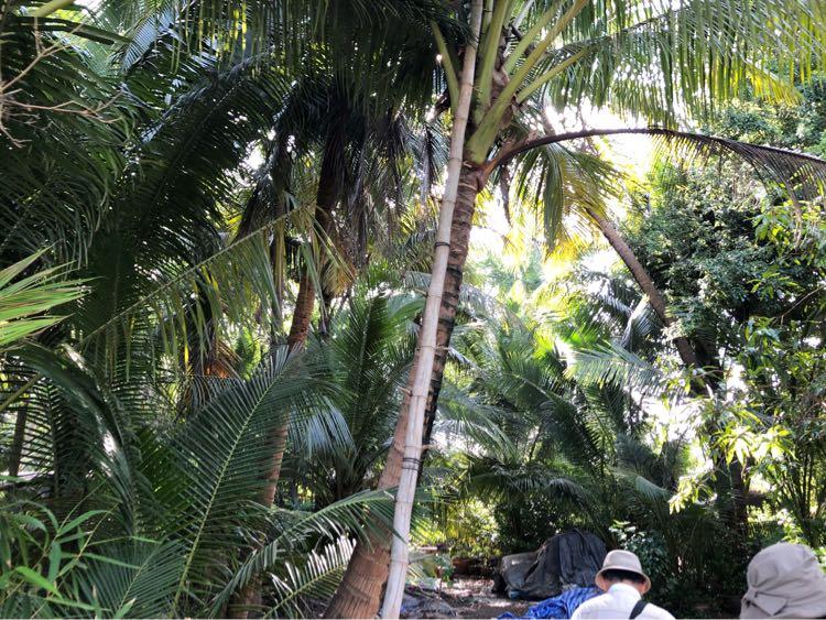 ココナッツ農園
