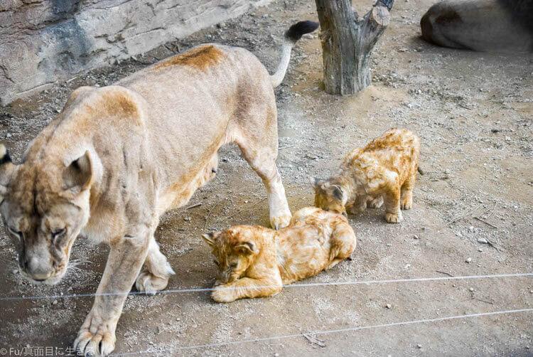 ソウルエバーランド ライオンの赤ちゃん
