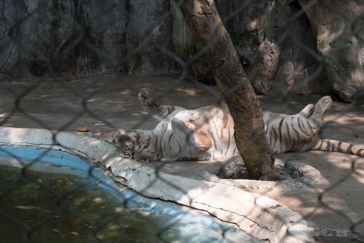 サファリワールド 昼寝する虎