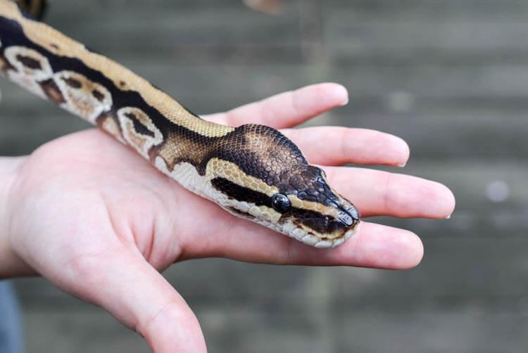 ジャングルブレックファースト 蛇の顔
