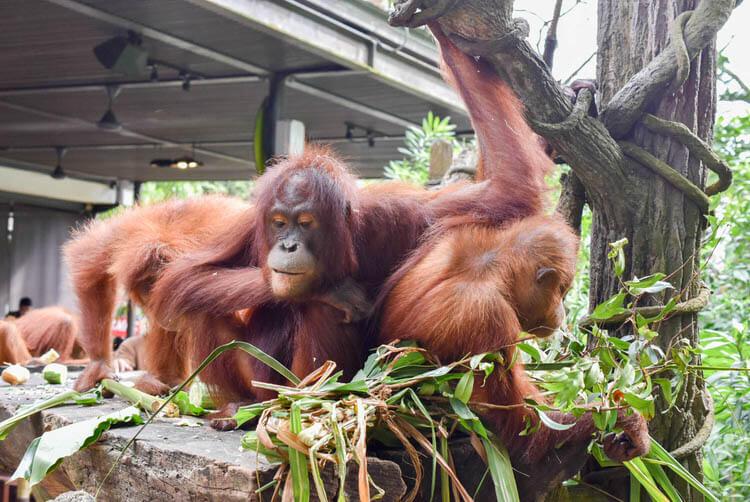 シンガポール動物園 オランウータンと朝食・記念撮影できるジャングルブレックファーストを体験