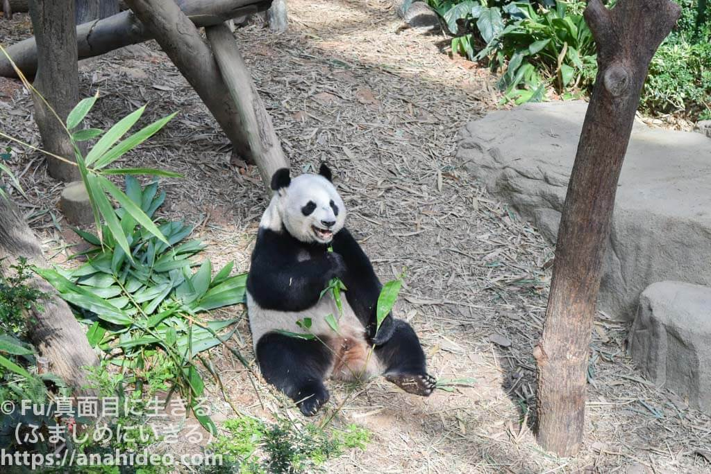 リバーサファリ 餌を食べるパンダ