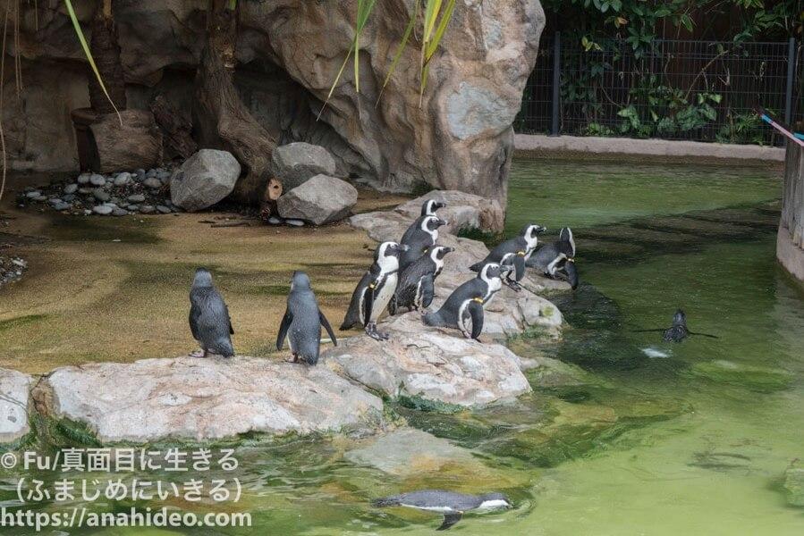 .アフリカンペンギン